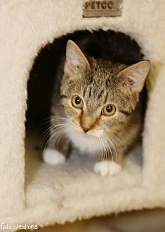 Domestic Shorthair Cat for adoption in Olive Branch, Mississippi - Batman