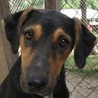 Labrador Retriever/German Shepherd Dog Mix Dog for adoption in Grand Saline, Texas - Todd