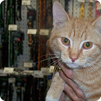 Domestic Shorthair Kitten for adoption in Los Angeles, California - Sparky