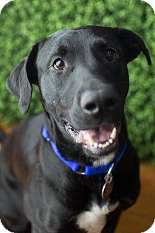 Labrador Retriever Mix Dog for adoption in Enfield, Connecticut - Adam