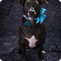 Adopt A Pet :: Wrex - Miami, FL