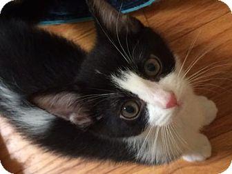 Domestic Mediumhair Kitten for adoption in Livonia, Michigan - Hb litter - Lorelei