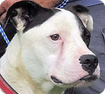 American Bulldog/American Staffordshire Terrier Mix Dog for adoption in Germantown, Maryland - Sirius