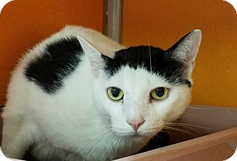 Domestic Shorthair Cat for adoption in Elyria, Ohio - Oliver