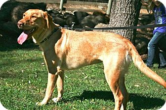Labrador Retriever Dog for adoption in Penngrove, California - Stella Bella