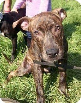 Pit Bull Terrier/American Bulldog Mix Dog for adoption in Northeast, Ohio - DUKE