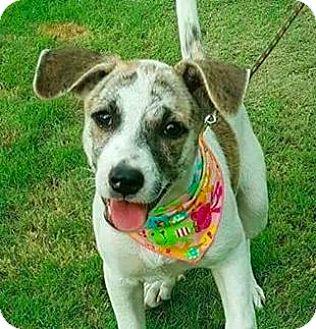 Terrier (Unknown Type, Medium)/Labrador Retriever Mix Dog for adoption in San Ramon, California - Mina