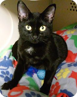 Domestic Shorthair Cat for adoption in Franklin, New Hampshire - Justice