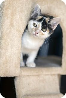 Calico Kitten for adoption in Dallas, Texas - Lacy