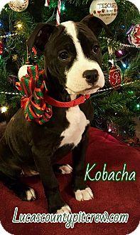 Labrador Retriever/American Pit Bull Terrier Mix Puppy for adoption in Toledo, Ohio - Kobacha