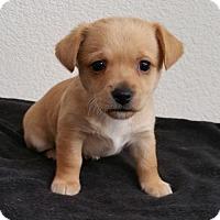 Adopt A Pet :: Biscuit - Stockton, CA