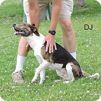 Hound (Unknown Type)/Labrador Retriever Mix Dog for adoption in Slidell, Louisiana - DJ