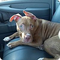 Adopt A Pet :: Barrett - Hawk Point, MO