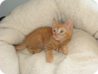 Domestic Shorthair Kitten for adoption in Spotsylvania, Virginia - Butter