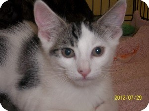 Domestic Shorthair Kitten for adoption in Riverside, Rhode Island - Morgan