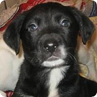 Adopt A Pet :: Bonham(ADOPTED!) - Chicago, IL