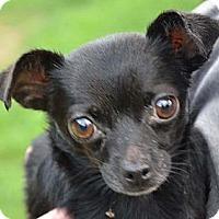 Adopt A Pet :: Sweet Pea - Brattleboro, VT