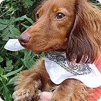 Adopt A Pet :: FREDDIE - Portland, OR