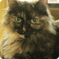 Domestic Mediumhair Cat for adoption in Burlington, Ontario - Ruby