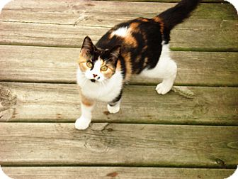 Domestic Shorthair Cat for adoption in Alliance, Ohio - Cat Family in Sebring