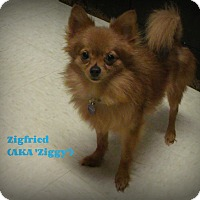 Adopt A Pet :: Zigfried - Muskegon, MI