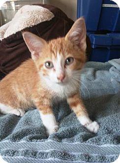 Domestic Shorthair Kitten for adoption in Chicago, Illinois - Jasper