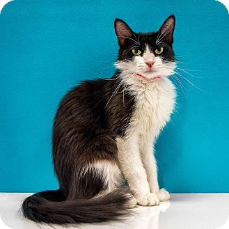 Domestic Shorthair Kitten for adoption in Chandler, Arizona - Lolli