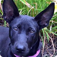 Adopt A Pet :: Diana-Adoption pending - Bridgeton, MO