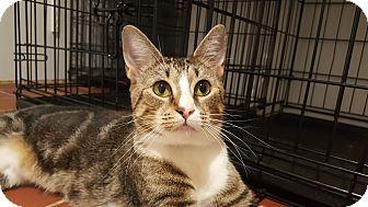 Domestic Shorthair Cat for adoption in New York, New York - Savannah