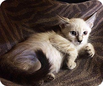 Siamese Kitten for adoption in Metairie, Louisiana - Gabriella