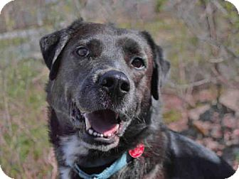 German Shepherd Dog Mix Dog for adoption in Pittsburgh, Pennsylvania - STAN
