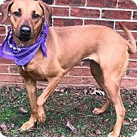 Adopt A Pet :: BAILEY - Lexington, NC