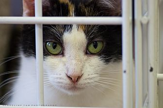 Calico Cat for adoption in Houston, Texas - KATIE