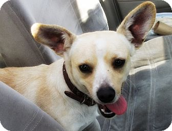 Corgi/Chihuahua Mix Dog for adoption in Irvine, California - BUGSY
