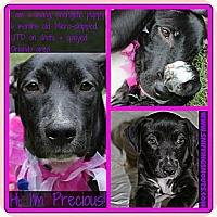 Adopt A Pet :: Precious - Orlando, FL