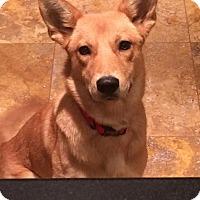 Adopt A Pet :: Hazel (fostered in TN) - Cranston, RI
