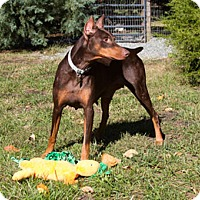 Adopt A Pet :: Zyah - Greensboro, NC