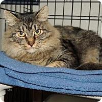 Maine Coon Cat for adoption in Long Beach, Washington - Sylvia