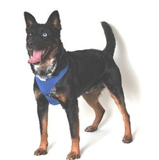 Rottweiler/Australian Cattle Dog Mix Dog for adoption in Show Low, Arizona - Midget