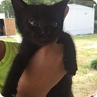 Domestic Shorthair Cat for adoption in Waycross, Georgia - Moon