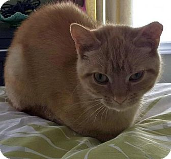 Domestic Shorthair Cat for adoption in Toronto, Ontario - Mimosa