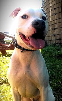 Dogo Argentino/American Pit Bull Terrier Mix Dog for adoption in Cherry Valley, New York - Montana