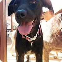 Adopt A Pet :: Olivia aka 'Liv' - Franklin, TN