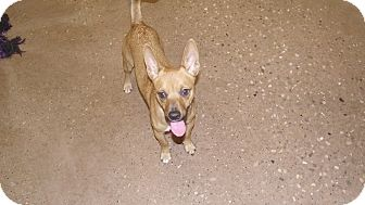 Chihuahua Mix Puppy for adoption in Appleton, Wisconsin - Prince Andrew *Petsmart GB*