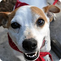 Jack Russell Terrier Mix Dog for adoption in Fairfax Station, Virginia - Ray Ray
