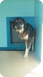 German Shepherd Dog Mix Dog for adoption in Manteo, North Carolina - Dickey