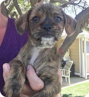 Pug/Shih Tzu Mix Puppy for adoption in Temecula, California - Tiger Lil