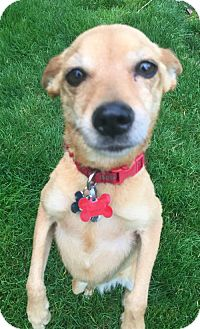 Terrier (Unknown Type, Medium)/Chihuahua Mix Dog for adoption in Seattle, Washington - Darling - She's All That!