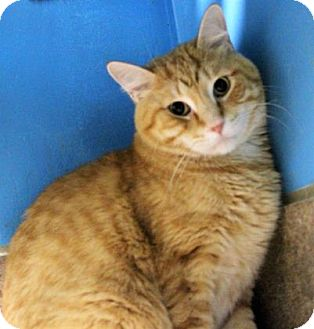 Domestic Shorthair Cat for adoption in West Des Moines, Iowa - Garfield