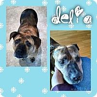 Adopt A Pet :: Delia - Garden City, MI